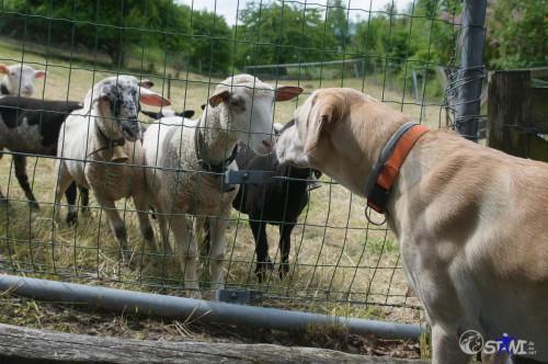 Also ich bin ein Hund und du ein Schaf.
